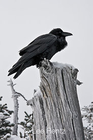 Common Raven (Corvus corax) perched on a dead tree on Hurricane Ridge, Olympic National Park, Olympic Peninsula, Washington, ...