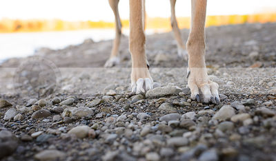 closeup of fawn dog legs paws standing on beach shore stones