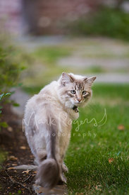 Grey Cat Looking Back over Shoulder