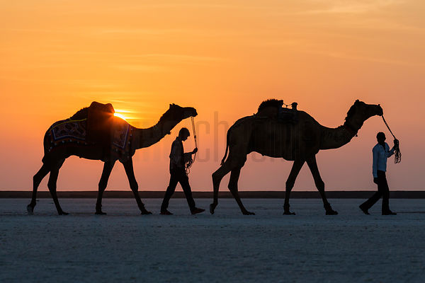 Tourist Camels in the Great Rann of Kutch