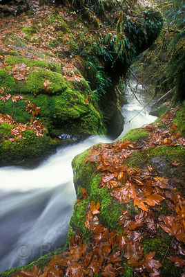 Bigleaf maple (Acer macrophyllum)  leaves along the mossy banks of Fall Creek, Willamette National Forest, Oregon