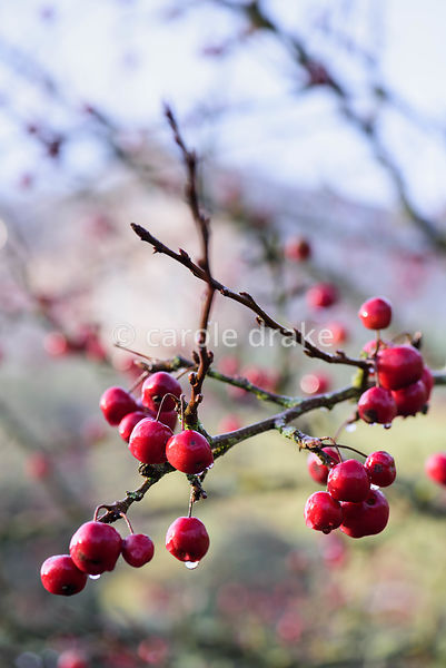 Crab apple fruits. Mapperton, Dorset
