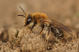 Andrena helvola, female ?