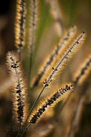 Flowering grass tips on a farm in Amish country, Lancaster, Pennsylvania