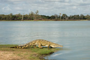 Nile Crocodile, Crocodylus niloticus, at the Rufiji River, Selous Game Reserve, Tanzania