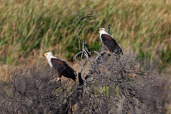 African fish eagles (Haliaeetus vocifer) at Olifantsbos, Cape Peninsula, South Africa