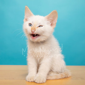 Studio Photo of White Kitten with Funny Expression After Yawning