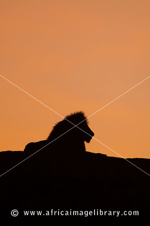 Male lion lying on a rock at sunrise (Panthero leo), Serengeti National Park, Tanzania