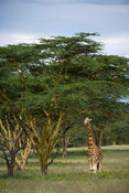 Maasai giraffe feeding from yellow fever trees (Giraffa camelopardalis tippelskirchi), Lake Nakuru National Park, Kenya