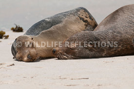 galapagos_sea_lion_sand_snooze_two_2