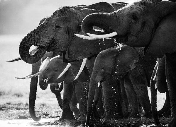 3081-Elephants_family_to_the_river_Laurent_Baheux
