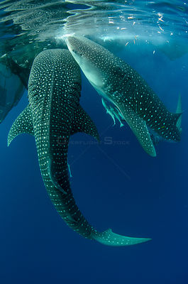 Whale sharks (Rhincodon typus) feeding at Bagan (floating fishing platform) Cenderawasih Bay, West Papua, Indonesia.