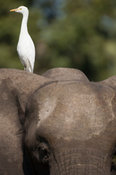 Cattle egret (Bubulcus ibis) sitting on an African elephant, Liwonde National Park, Malawi