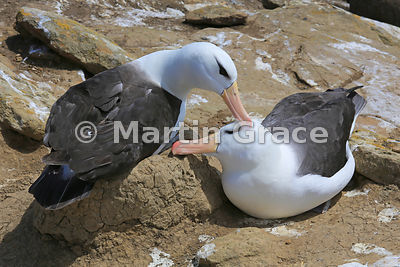 Pair of Black-Browed Albatross (Thalassarche melanophrys) strengthening their pair-bond by mutual preening, The Rookery, Saun...