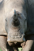 White rhinoceros (Ceratotherium simum) with oxpecker, Sabi Sands, Greater Kruger National Park, South Africa