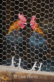Roosters in a chicken coop at Fielding Garr Ranch, Antelope Island State Park in the Great Salt Lake, Utah, USA, August, 2008...