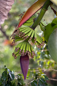 Bananas in development on a wild growing tree, Skutch Corridor, Costa Rica