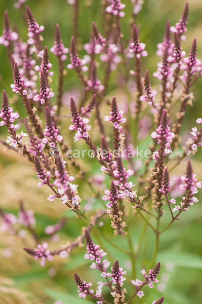 Verbena hastata. The Bay Garden, Camolin, Co Wexford, Ireland
