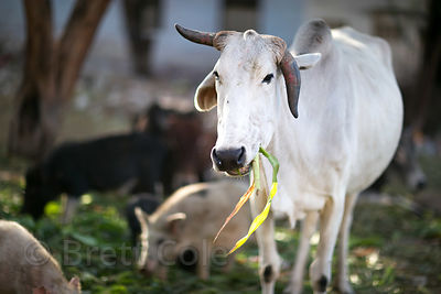 A cow feeding in Pushkar, Rajasthan, India