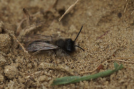 Andrena nycthemera, male