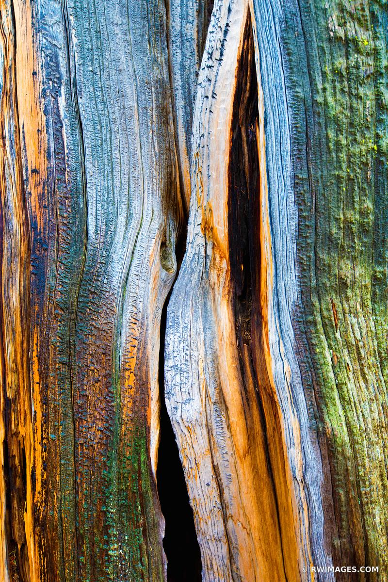 NATURE ABSTRACT CHARRED BRISTLECONE PINE MOUNT GOLIATH COLORADO COLOR VERTICAL