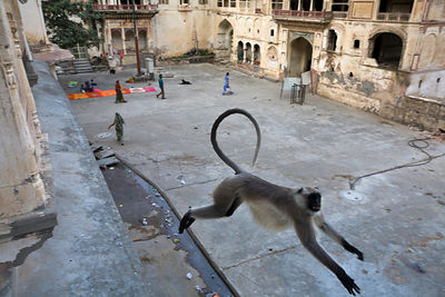 India - A Langur monkey leaps between buildings at Surya Mandir (known as the Monkey Temple), Jaipur, India