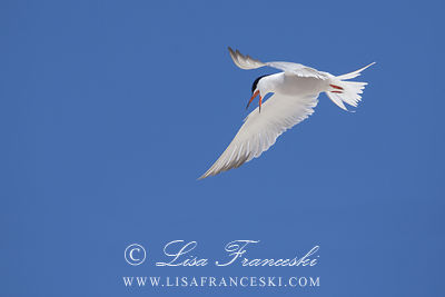 Flight of a Tern