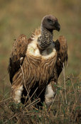 African white-backed vulture, Gyps africanus, Maasai Mara National Reserve, Kenya