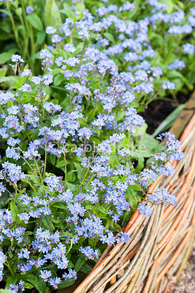 Forget-me-nots in the Summer Garden. Holker Hall, Grange over Sands, Cumbria, UK