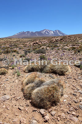 Cojin de la Suegra (Mother-in-Law's Cushion) cactus (Maihueniopsis glomerata), Altiplano south-east of Socaire, Atacama