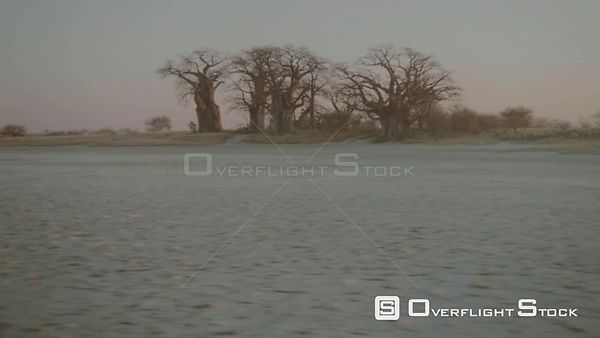 Aerial long shot wide angle group of baobab trees on edge of salt pan in desert at sunset sunrise Botswana