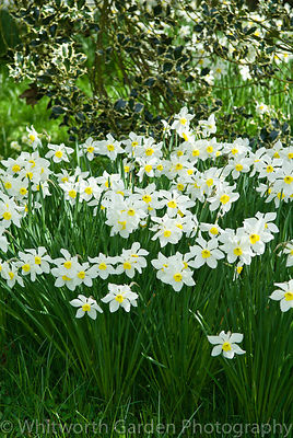 A drift of Narcissus 'White Lady' planted under Ilex. © Jo Whitworth