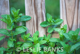 Fresh Mint Plant in the Garden