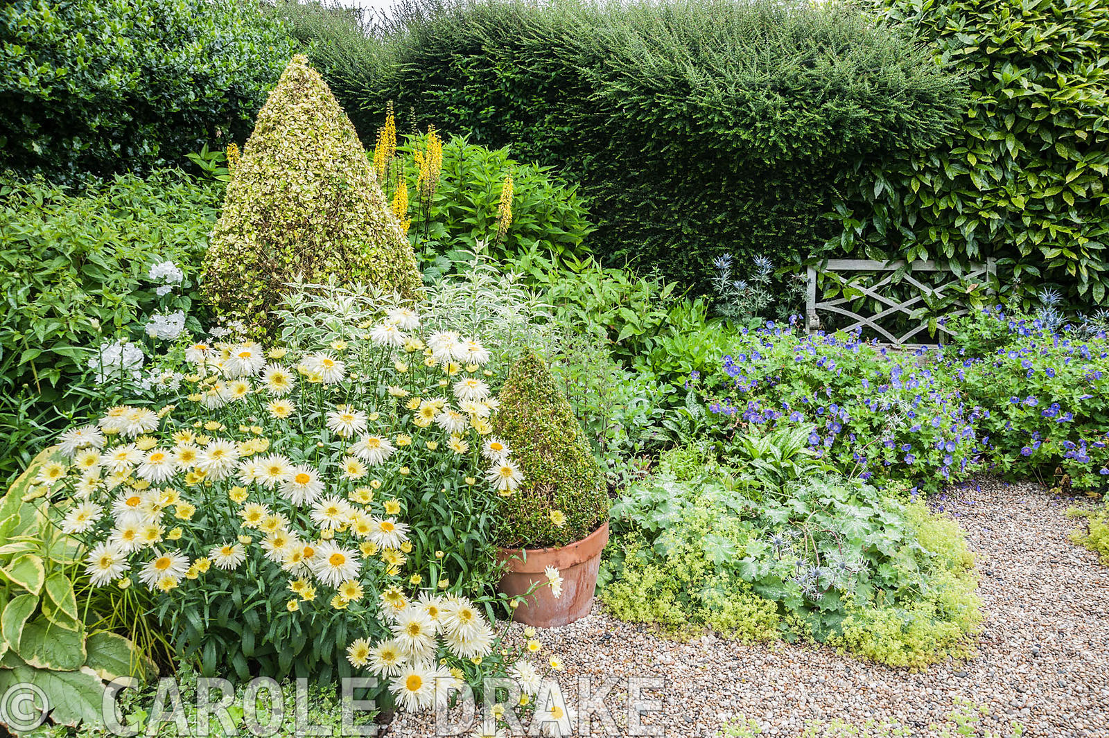 The Vean Garden is predominantly white, blue and gold, with clipped box and golden privet surrounded by lush perennials such ...