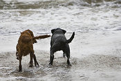 Two dogs in surf on beach