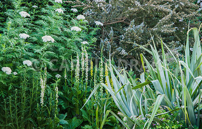 White and yellow flower spikes of Verbascum chaixii with tall Achillea grandifolia and leptospermum behind and silvery Asteli...