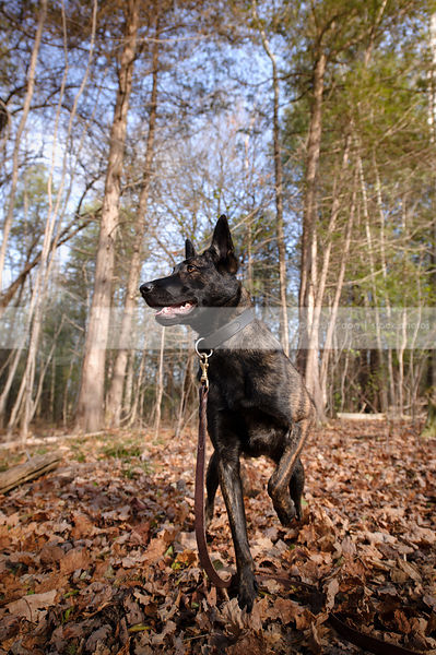 alert dutch shepherd dog pointing in autumn setting