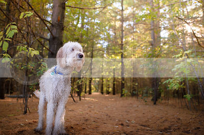 wet mixed breed dog standing in pine needles in forest with sunshine trees