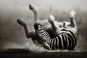 Zebra rolling on dusty plains - fine art