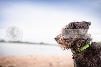 headshot of small silver curly coated dog on beach