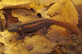 Red-tailed Knobby Newt - Tylototriton kweichowensis