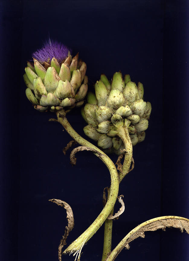 Blooming artichoke plants