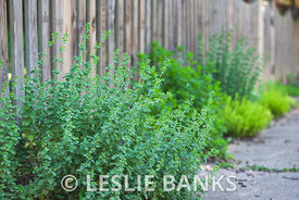 Fresh Oregano in the Garden