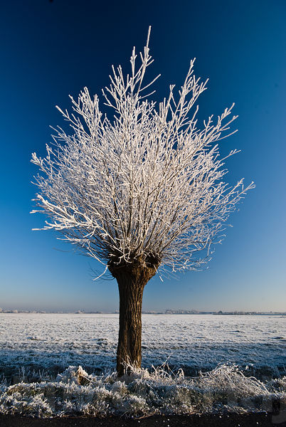 Frosty willow