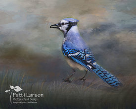 Blue Jay Snacking