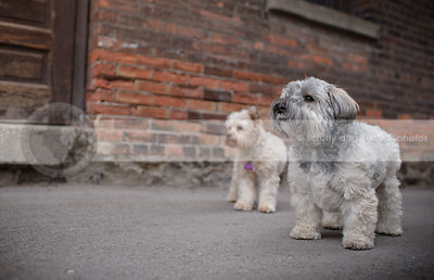 two cute small dogs standing near urban brick wall