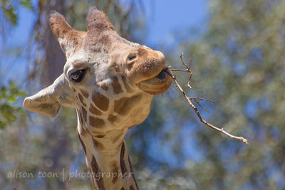 Giraffe eating stick