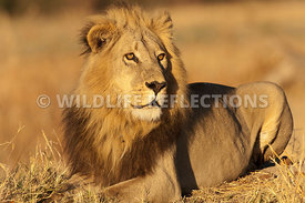lion_male_resting_haunches_closer_2