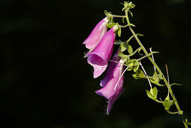 September - Foxglove