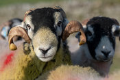 Swaledale ram covered in yellow raddle, tupping ewes in autumn. North Yorkshire, UK.